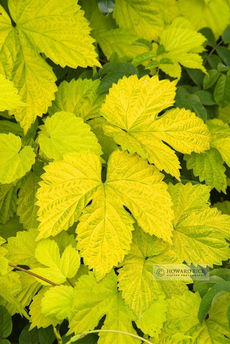 Humulus lupulus 'Aureus' - golden hop