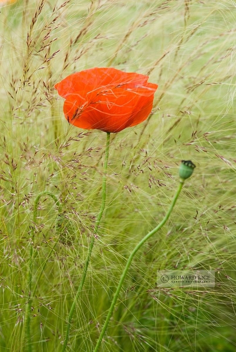 Papaver rhoeas with Stipa tenuissima in June