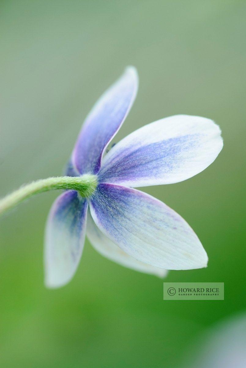 Anemone hortensis subsp. heldreichii