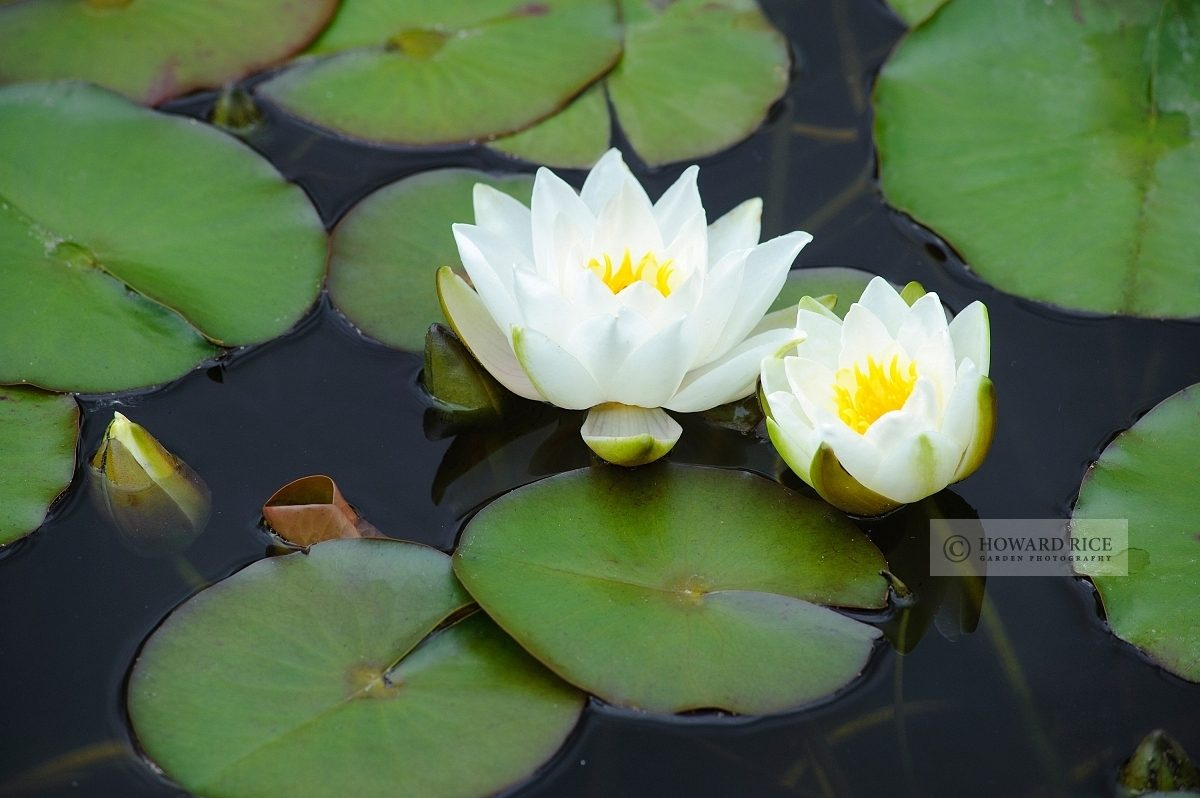 Nymphaea - white waterlily