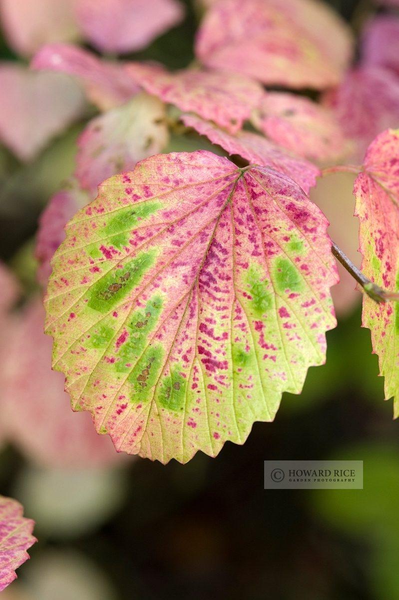 Viburnum pubescens in autumn