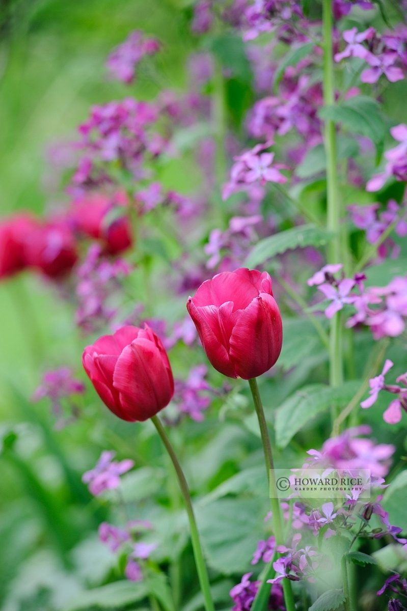 Pink Triumph Tulips (Tulipa) 'Passionale' with Honesty (Lunaria annua Syn. Lunaria biennis)
