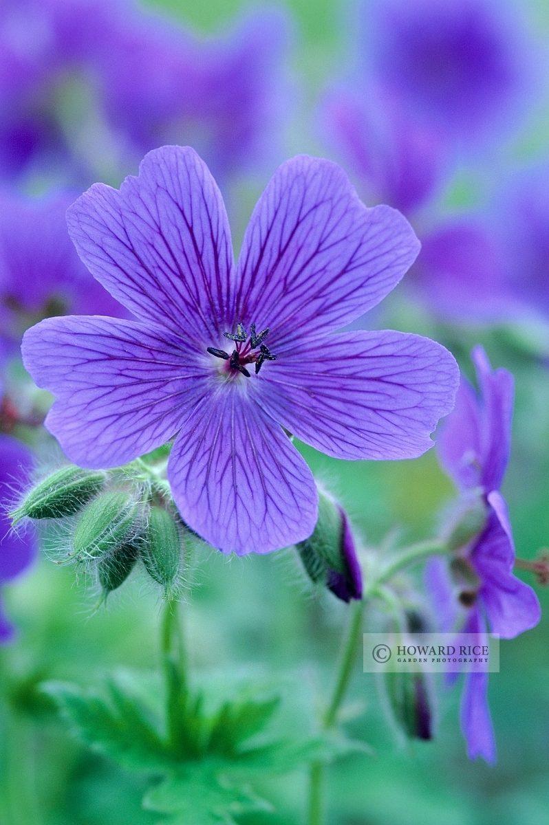 Geranium x magnificum 'Hylander'