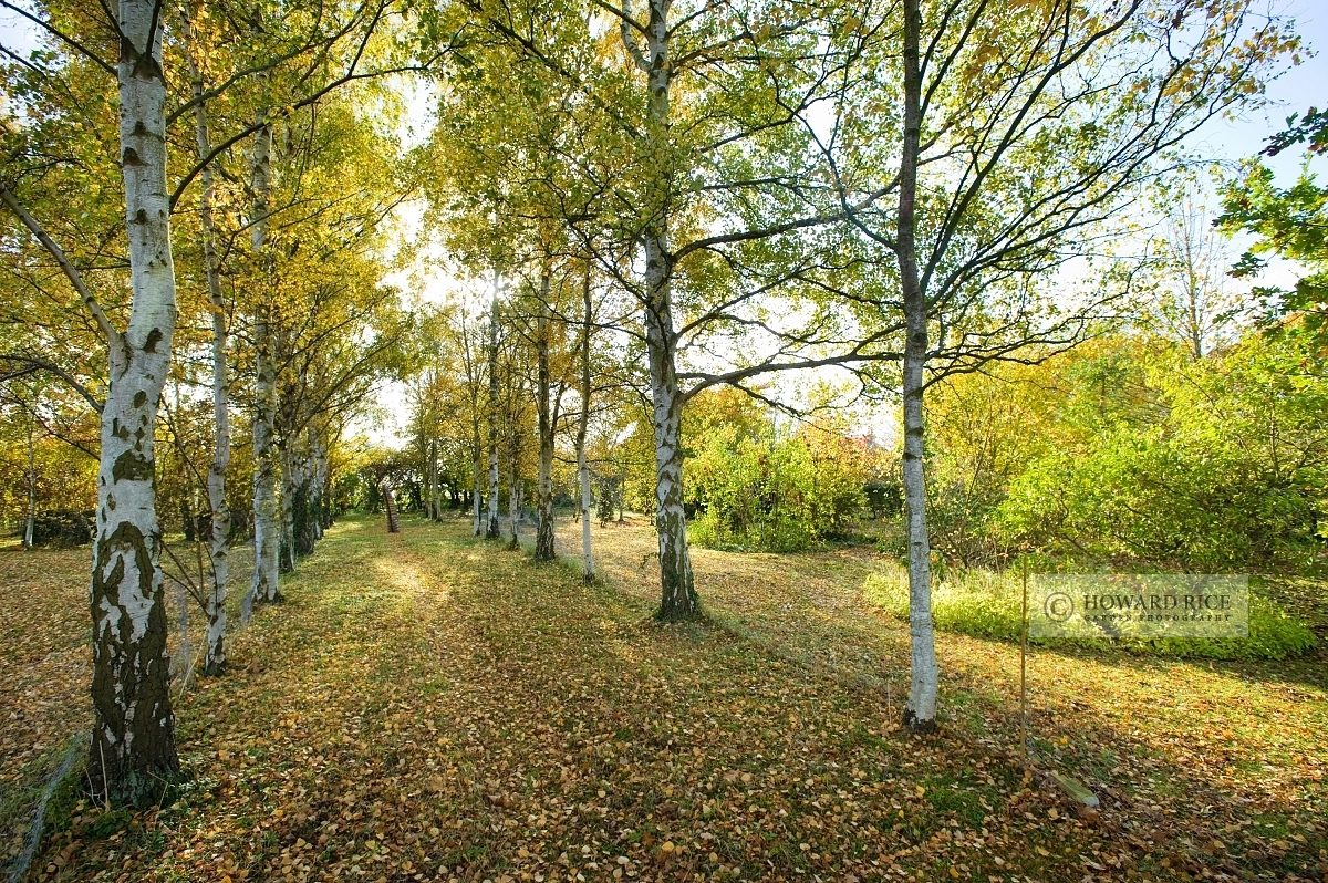 Avenue of Betula pendula in autumn