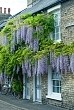 Wisteria floribunda 'Multijuga' syn.'Macrobotrys' trained on front of Victorian house - Covent Garden, Cambridge