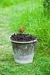 Robin on bucket of garden compost