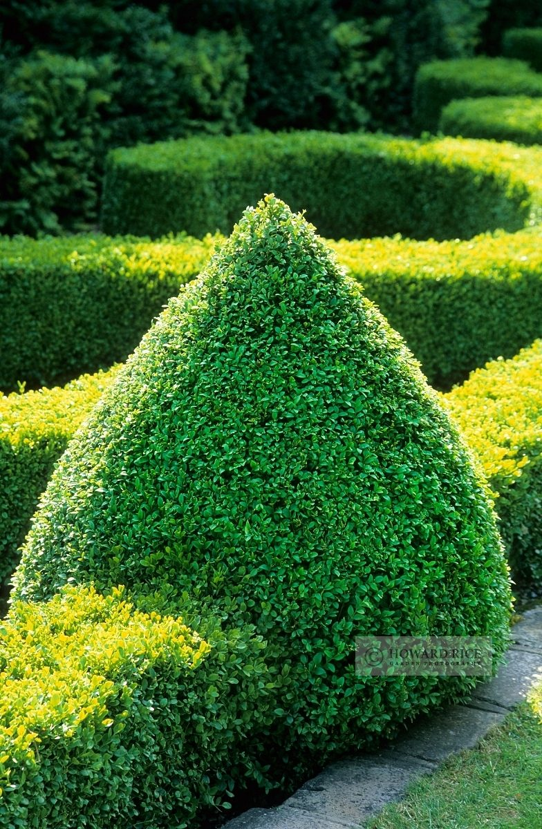 Box topiary in knot garden at The Manor House. Stevington, Bedford