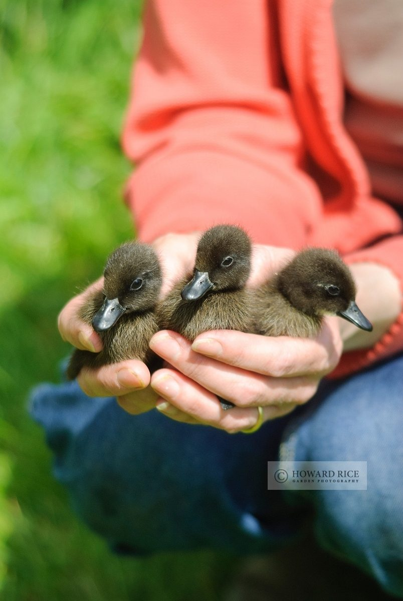 woman holding ducklings