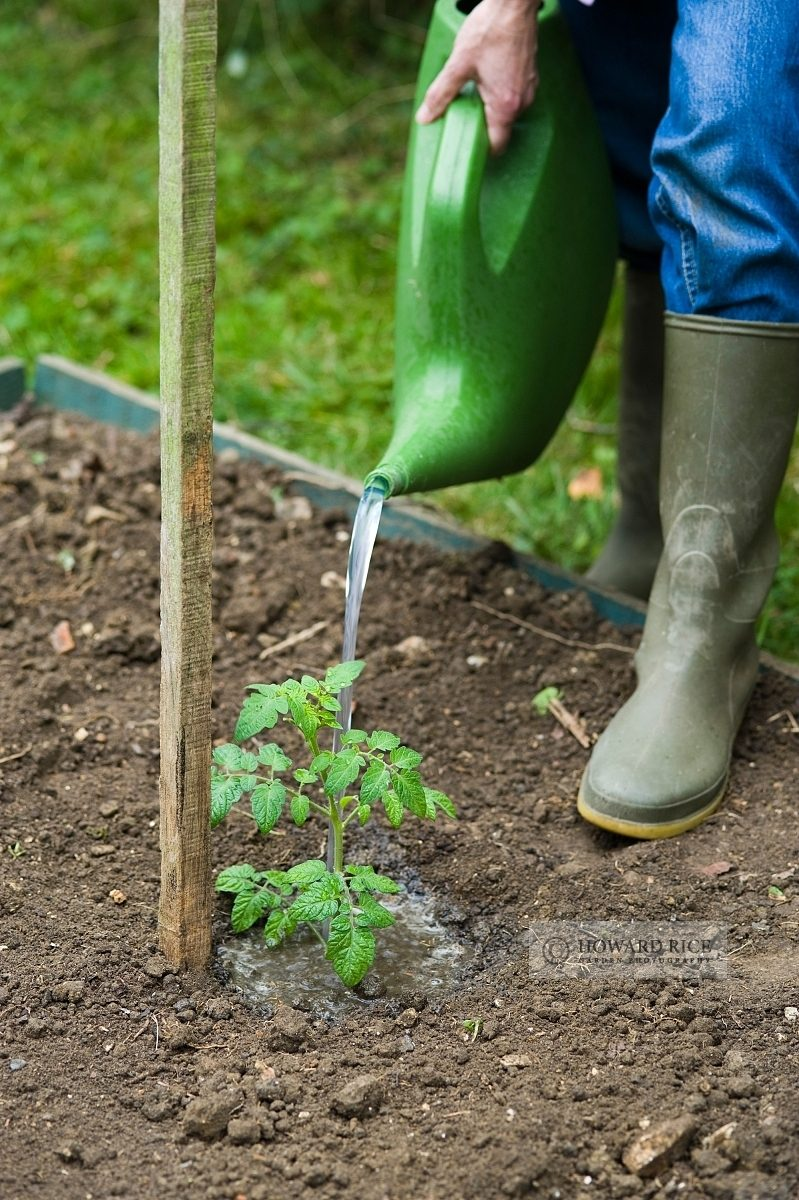 Watering a newly planted tomato plant