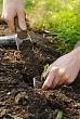 planting a runner bean seedling